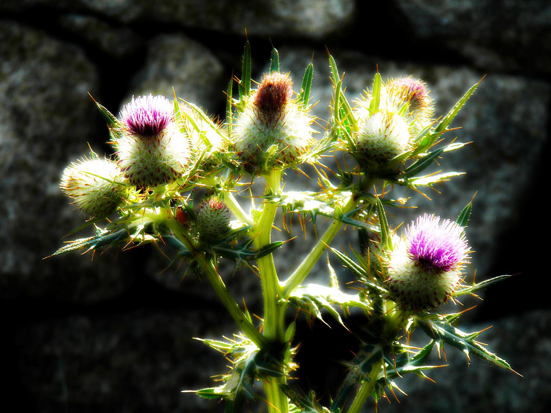 Kwiaty ostu w świetle dnia